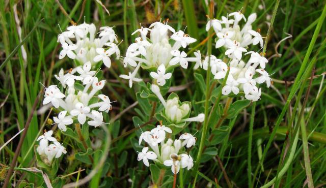 Common Rice-flower