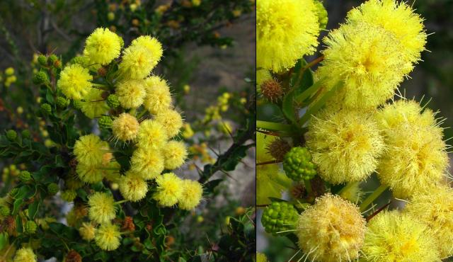 Hedge Wattle