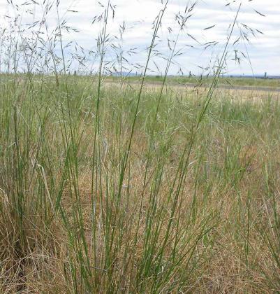 Short-crest Spear-grass