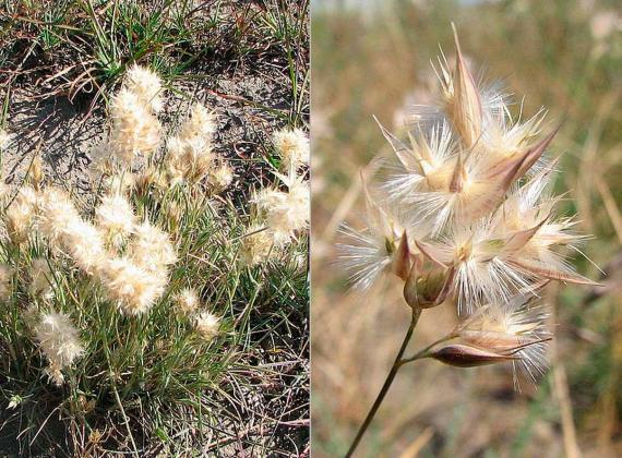 Short Wallaby-grass