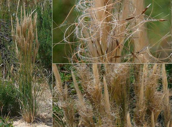 Supple Spear-grass