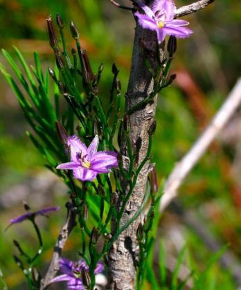 Twining Fringe Lily