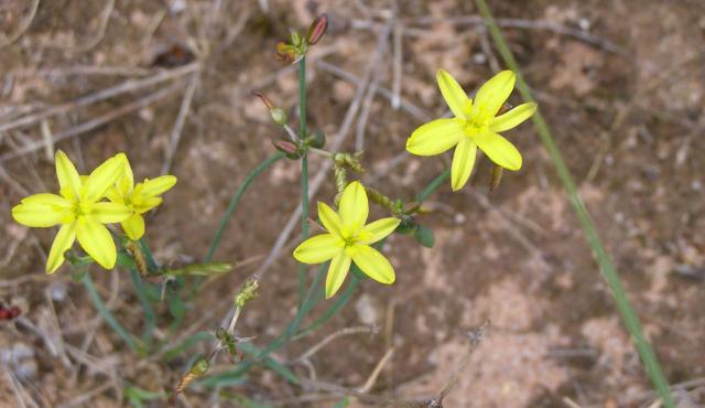Yellow Rush Lily