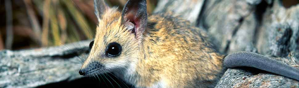 Fat-tailed Dunnart - © Alan Henderson (Minibeast Wildlife)