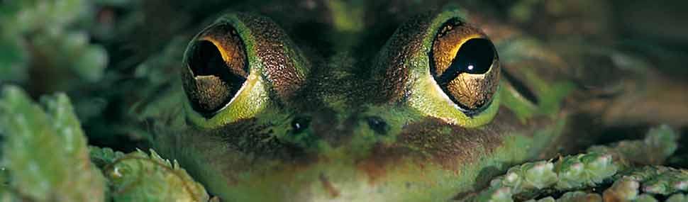 Growling Grass Frog - © Craig Cleeland
