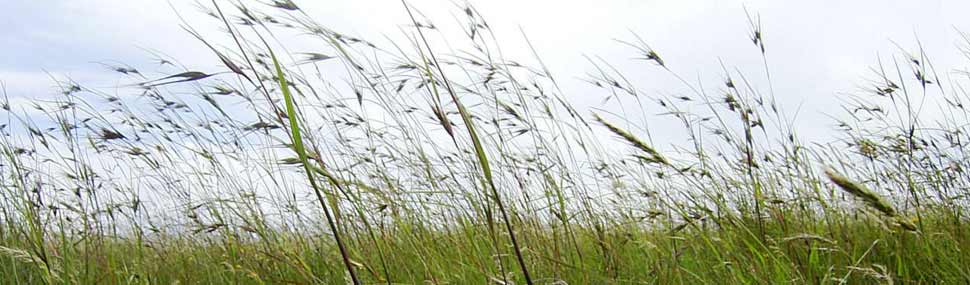 Themeda grassland 1 - © Elspeth Swan