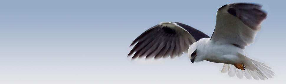 Black-shouldered Kite - © Bob Winters