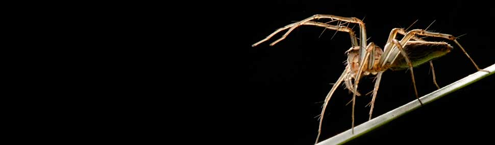 Lynx Spider - © Alan Henderson (Minibeast Wildlife)