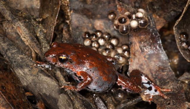 Eastern Smooth Frog