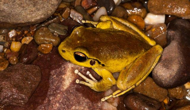 Lesueur's Frog