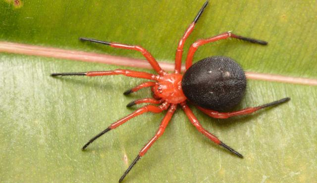 Red and Black Spider