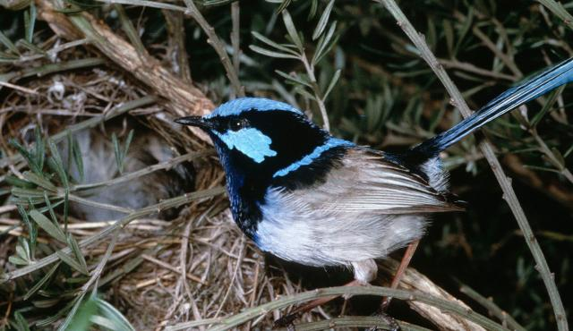 Superb Fairy-wren