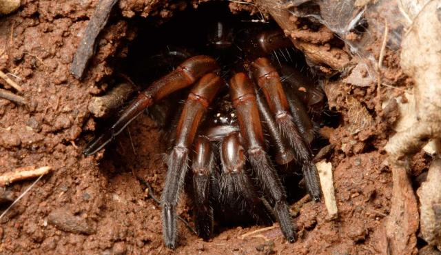 Trapdoor Spider | Biodiversity of the Western Volcanic Plains