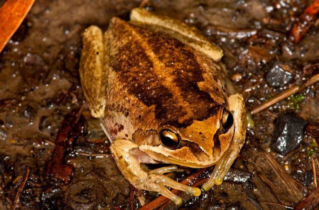 Verreaux's Frog