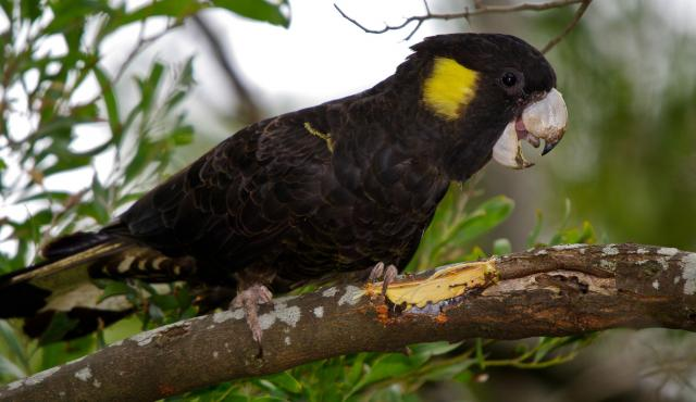 Yellow-tailed Black Cockatoo | Biodiversity of the Western ...