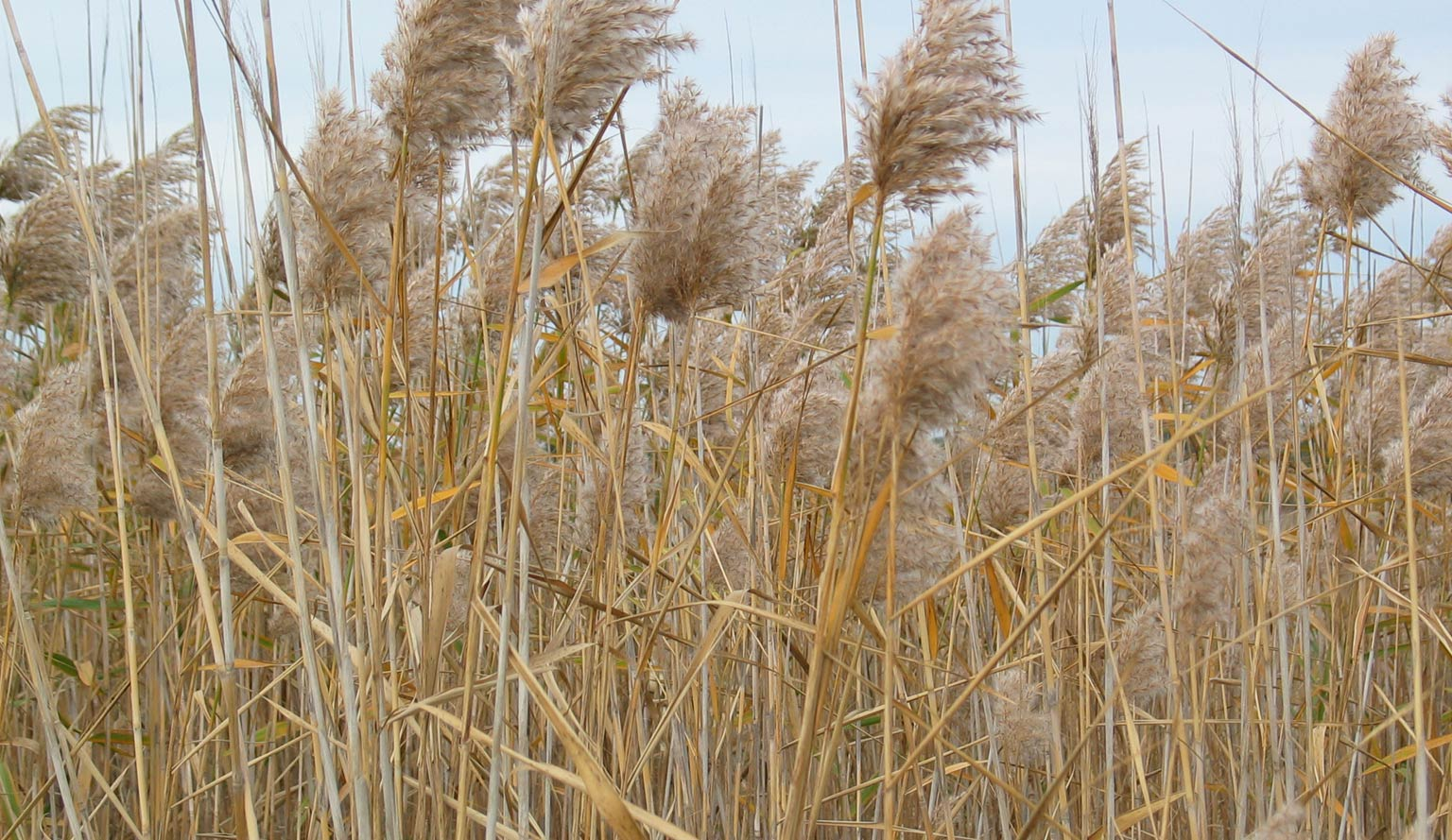 Common Reed - Colleen Miller