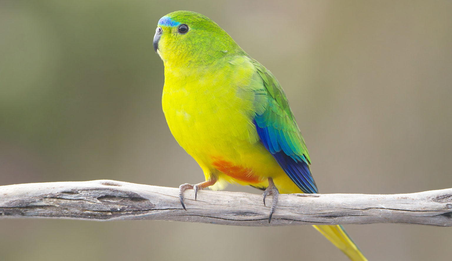 Orange-bellied_Parrot - JJ Harrison