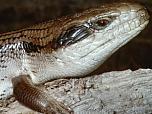 Common Blue-tongue Lizard