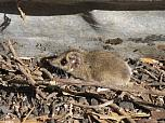 Common Dunnart