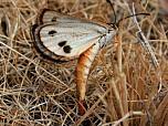 Golden Sun Moth