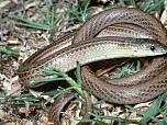 Striped Legless Lizard
