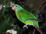 Swift Parrot (non-breeding)