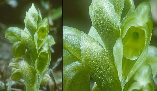 Leprechaun Greenhood
