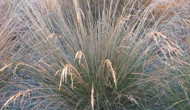 common tussock grass