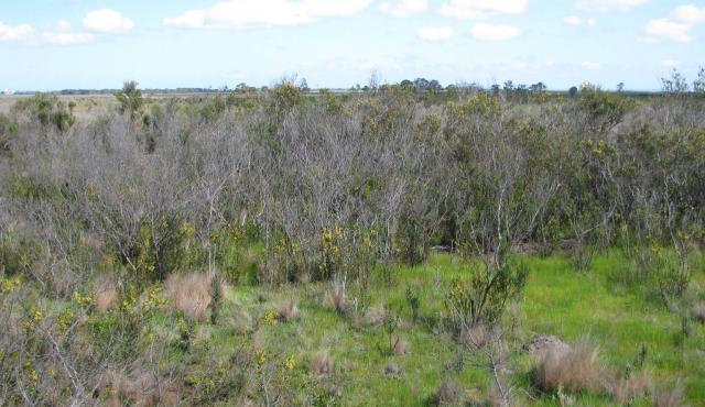 Hedge Wattle