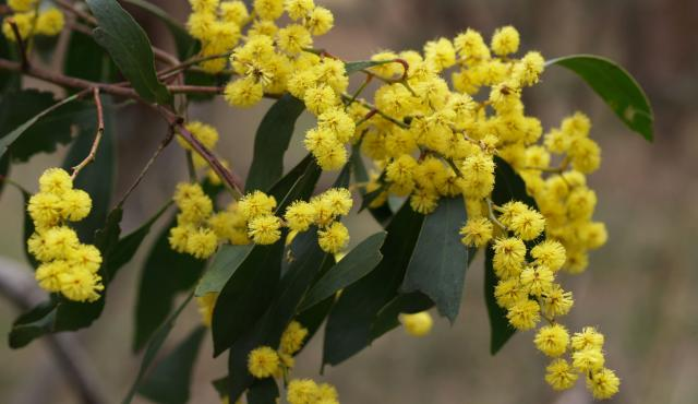 Golden Wattle Biodiversity Of The Western Volcanic Plains