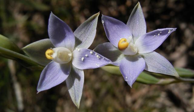 Grassland Sun-orchid