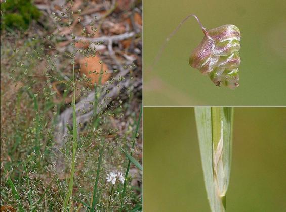 Lesser Quaking-grass