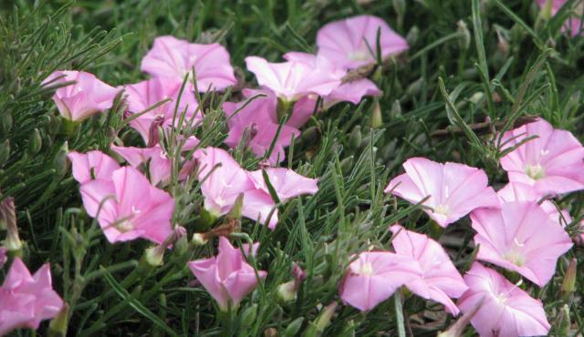 Pink Bindweed