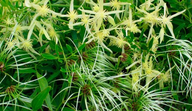 Small-leaved Clematis