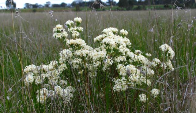 Smooth Rice-flower