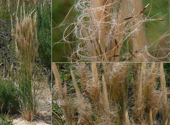 Supple Spear-grass