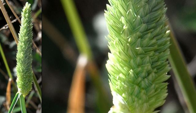 Toowoomba Canary-grass