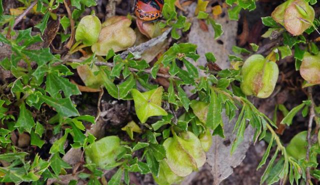 Trailing Hop-bush