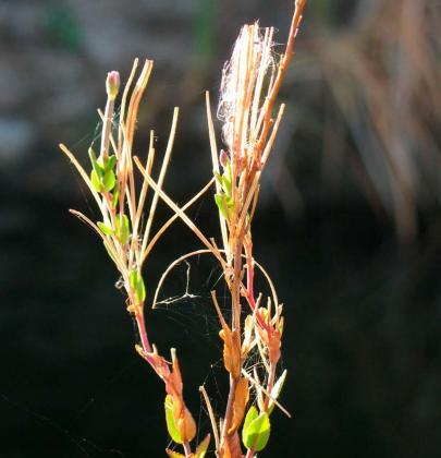 Variable Willow-herb