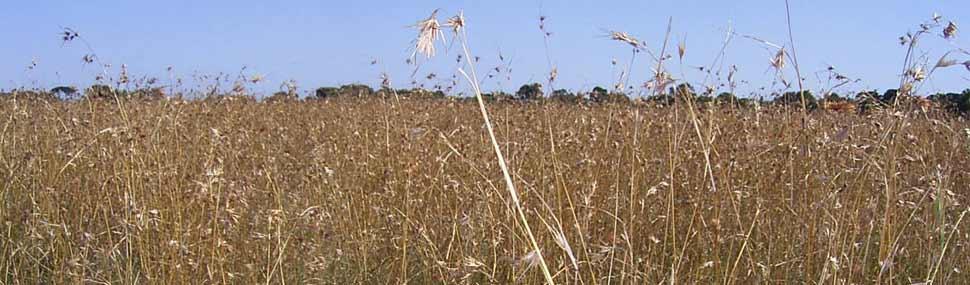 Themeda grassland 2 - © Elspeth Swan