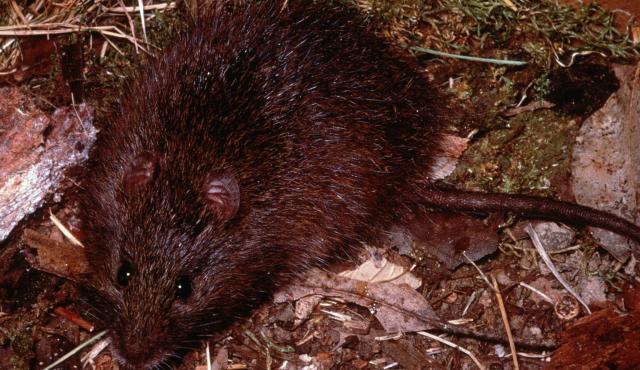 Australian Swamp Rat