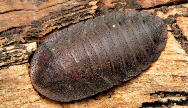 Bark Cockroach
