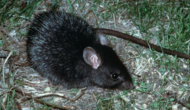Black Rat Biodiversity Of The Western Volcanic Plains