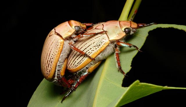 Christmas Beetle.Christmas Beetle Biodiversity Of The Western Volcanic Plains
