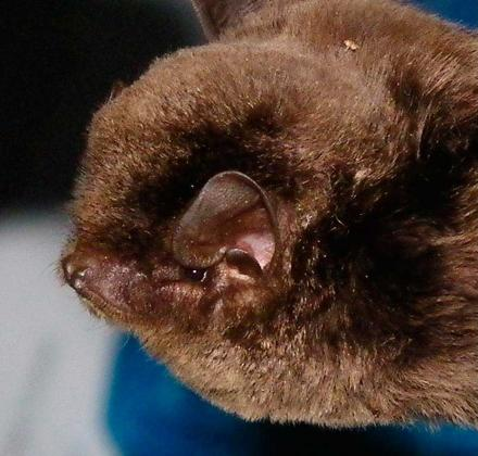 Southern Bent-wing Bat