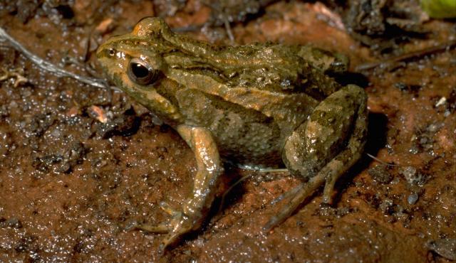 Common Eastern Froglet
