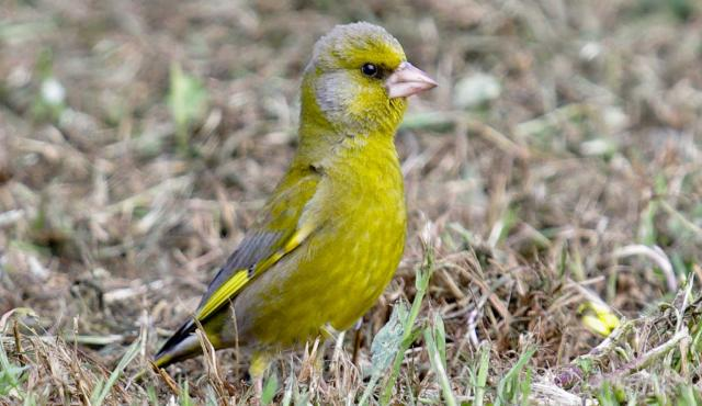 Common Greenfinch
