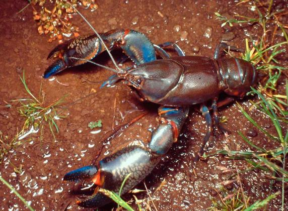 Common Yabbie