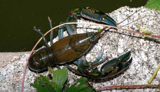 Common Yabbie | Biodiversity of the Western Volcanic Plains