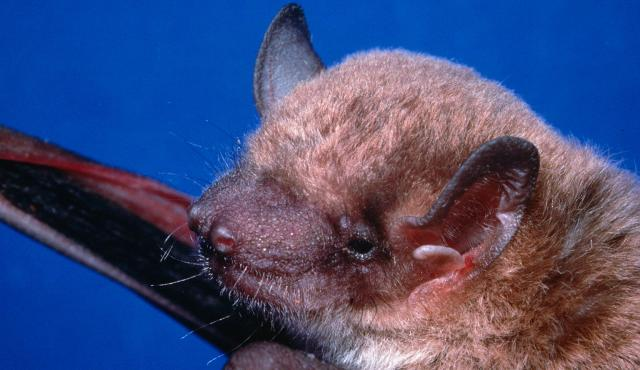 Eastern False Pipistrelle